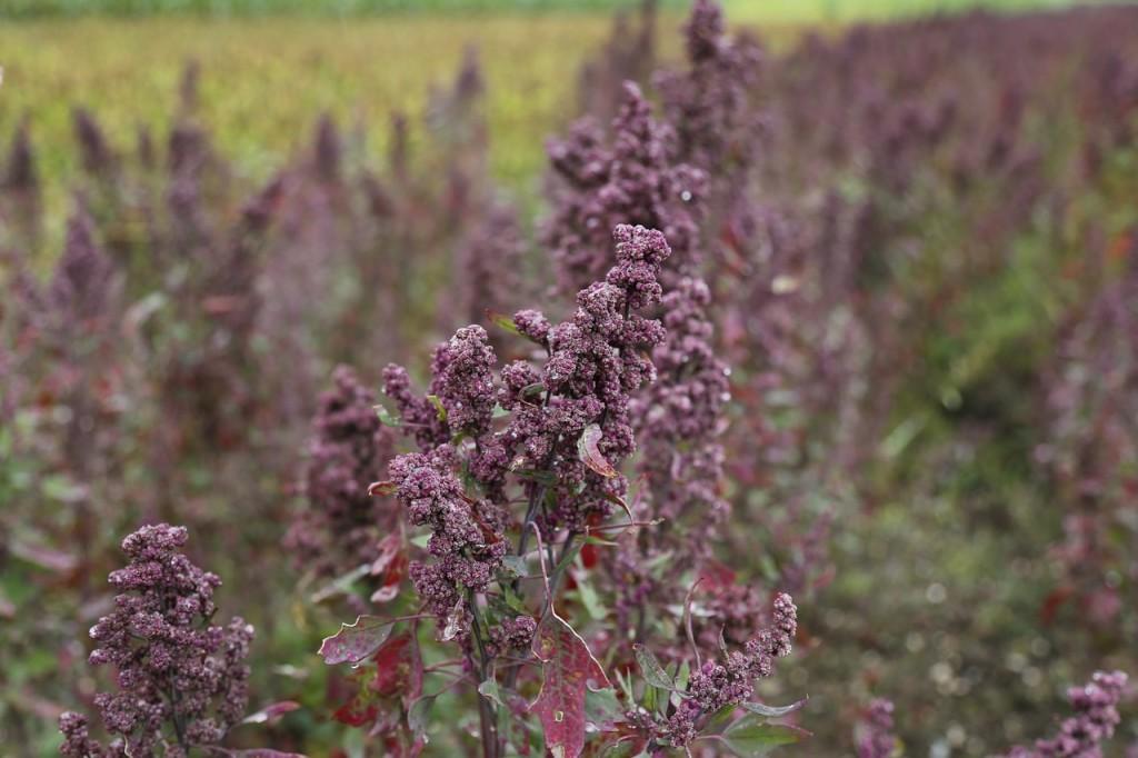 quinoa-897678_1280