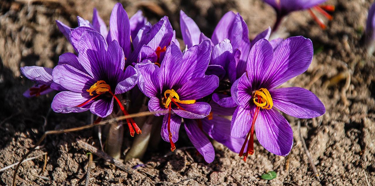 saffron-1136778_1280