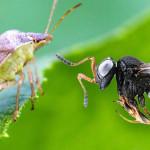 Un esercito di vespe samurai per contrastare la cimice asiatica
