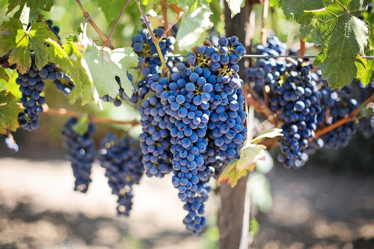 grapes-553464_1280