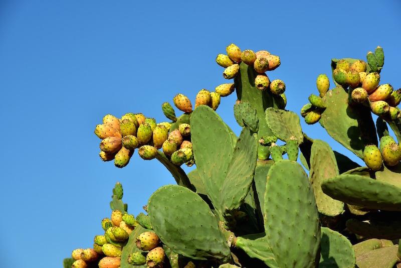 pianta-fico-d-india