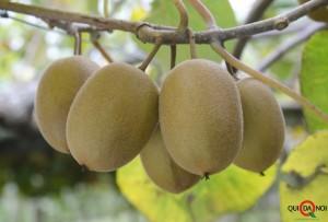 Advanced selection kiwifruit cultivars at Kerikeri Research Orchard.