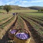 Abruzzo. Degustazione ed esperienza sullo Zafferano dell'Aquila DOP